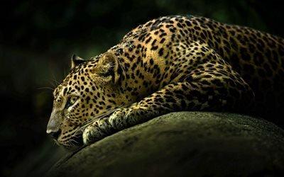 леопард, камень, хищники, дикая кошка