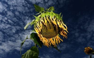 Поле, Подсолнух, Sunflower