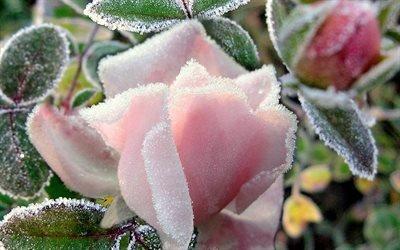 природа, роза, листья, бутон, розовая, иней, холод, мороз, 4к