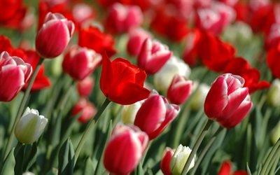 тюльпан, тюльпаны