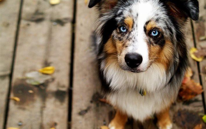 Австралийская овчарка, собаки, милые животные, голубые глаза