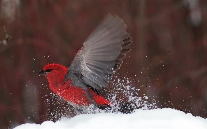 Снегирь, красная птица, зима, Снігур, червоний птах, птицы