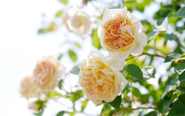 куст роз, розы, бежевые розы, кущ троянд, троянди, бежеві троянди