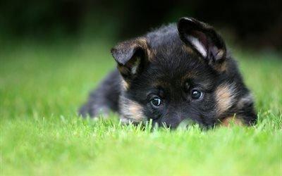 щенок, овчарка, маленькая собачка, маленькая овчарка