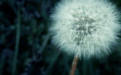 одуванчик, макро, цветы, dandelion