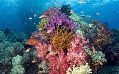 коралл, кораллы, корал
