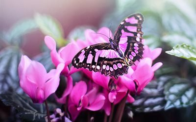 цветы, листья, цикламен, бабочка