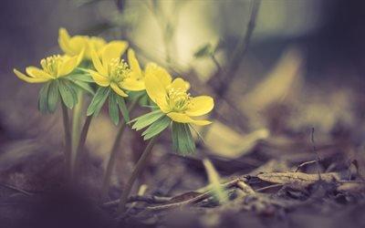 Флора, Цветы, Весенник зимующий, Eranthis hyemalis