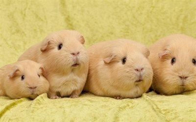 морские свинки, милые животные, домашние питомцы, квартет морских свинок