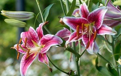 Флора, Цветы, Тигровая лилия