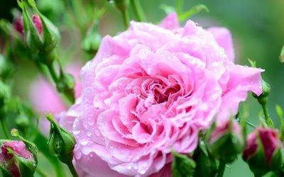 цветок, роза, бутоны, капли, вода