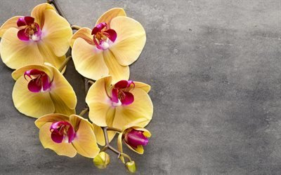 желтая орхидея, тропические цветы, орхидеи, ветка орхидеи
