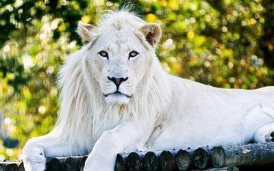 белый лев, царь зверей, хищники, зоопарк