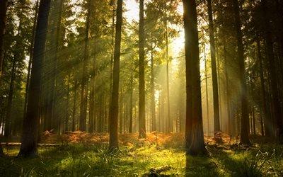 лучи, сосны, свет, деревья, лес