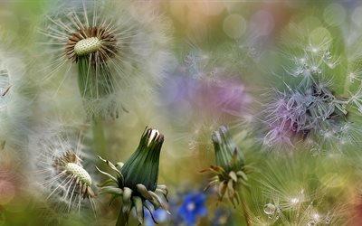 цветы, одуванчики, бутоны, макро, коллаж, весна