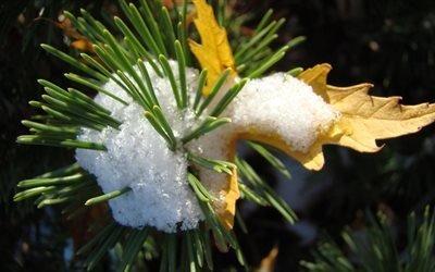 сосна, снег, колючки, лист