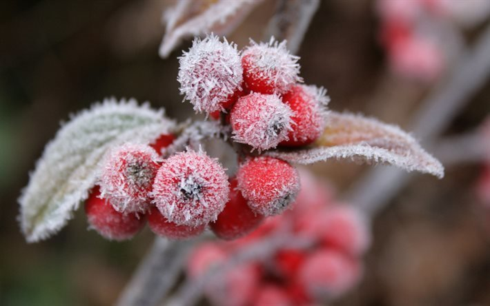 ягоды, мороз, иней, листья