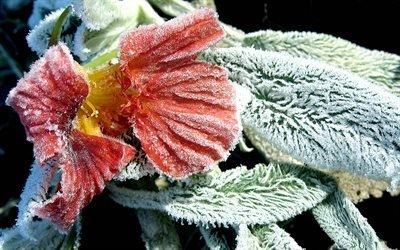 цветок, листья, мороз, иней, снег, зима, ворсинки