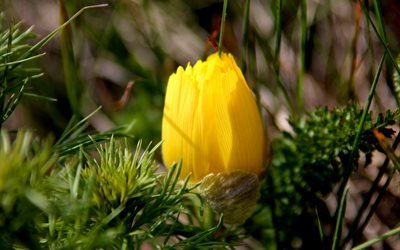 цветок, жёлтый, стародубка