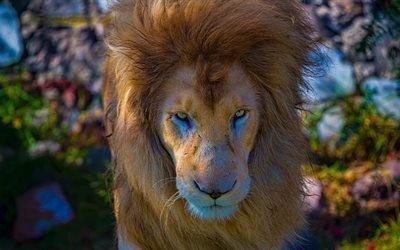 Лев, HDR, царь зверей, 4k, дикая природа, хищники