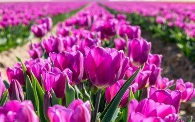 тюльпаны, Голландия, весна, розовые тюльпаны, полевые цветы