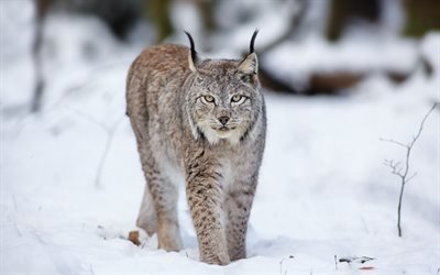 рысь, лес, зима, снег, хищники