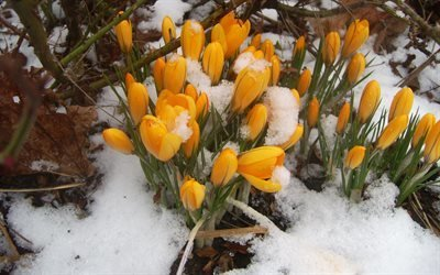 природа, подснежники, снег, весна, лес