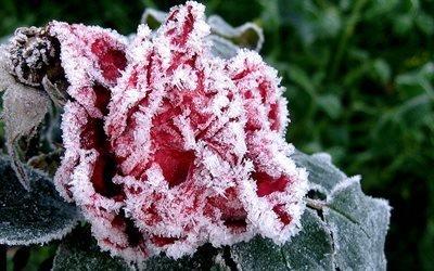 цветок, роза, сад, мороз, иней, лед, осень
