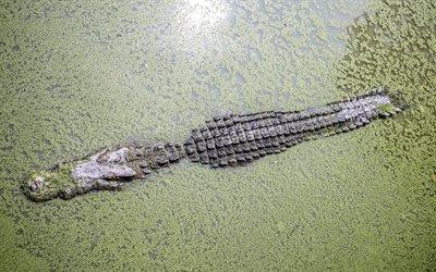 Большой, Крокодил, Трава, Таиланд