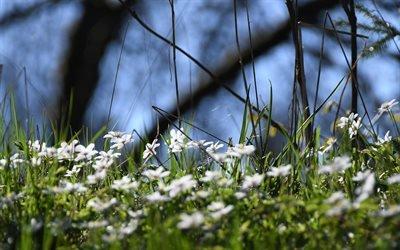 Флора, Цветы, Ветриница дубравная, Flora, Flowers, Wood Anemone, Anemona nemorosa