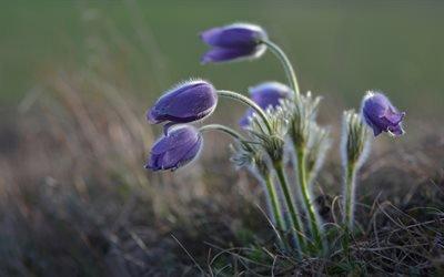 Флора, Цветы, Прострел обыкновенный, Flora, Flowers, Pulsatilla Vulgaris