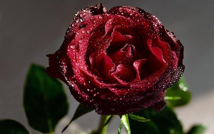 макро, роза, красная, капли, роса