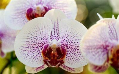 макро, орхидея, фаленопсис, ветка