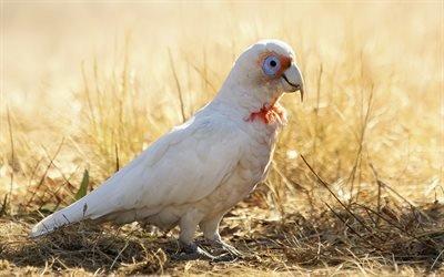 Жако, белый попугай, папуга