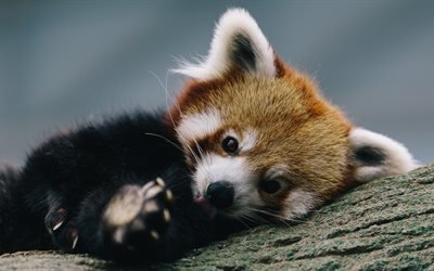 животное, красная панда, дерево