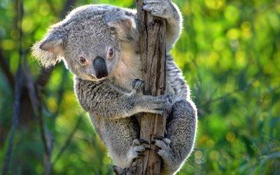 животное, коала, природа, лиана, Австралия