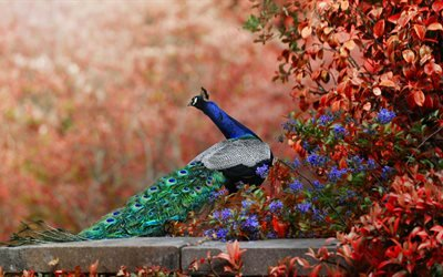 птица, павлин, природа, ветки, листья, осень, цветы