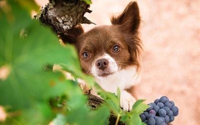 животное, пёс, собака, чихуахуа, мордочка, виноград, взгляд, листья