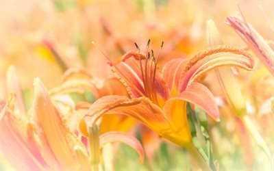 Флора, Цветы, Лилейник буро-жёлтый, Flora, Flowers, Hemerocallis fulva