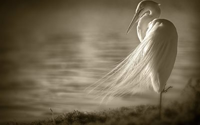 Фауна, Птицы, Большая Белая Цапля, Ardea Alba