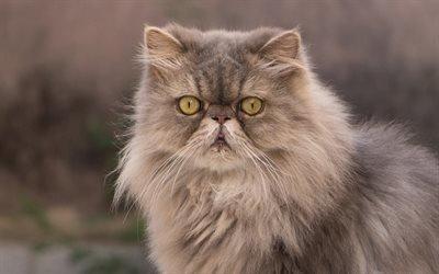 пушистая кошка, персидская кошка, милые животные, коты