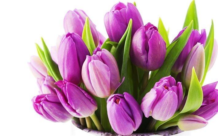 фіолетові тюльпани, тюльпани, тюльпан, тюльпаны