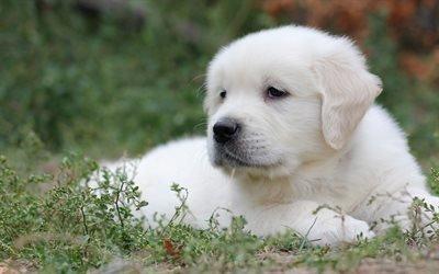 белый ретривер, щенок, лужайка, лабрадор