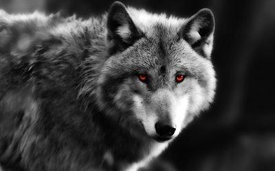 волк, хищный взгляд, красные глаза, хищник