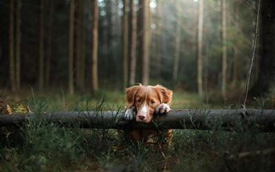 Новошотланский ретривер, собаки, лес, дерево