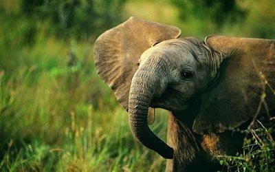 слоненок, Африка, маленький слоник, дикая природа, слоны, слоненя
