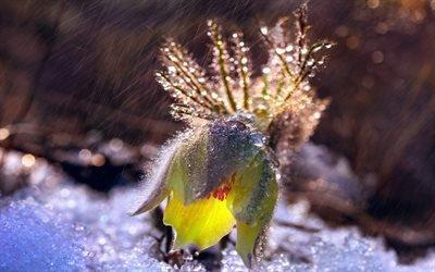 цветок сон-трава, дождь, капли, макро, природа, снег, цветы, широкоформатные