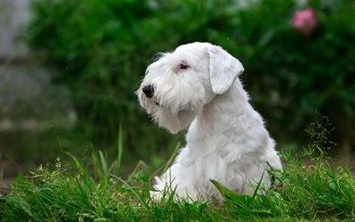 Силихем-терьер, щенок, лужайка, собаки