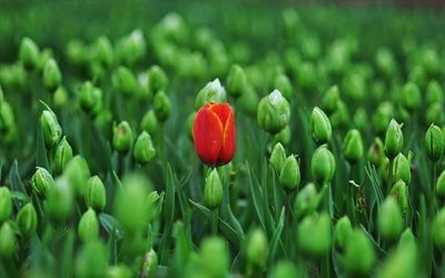 первый тюльпан, поле, цветение, тюльпаны, весна