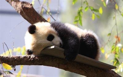 Дикие животные, Зоопарк, Панда